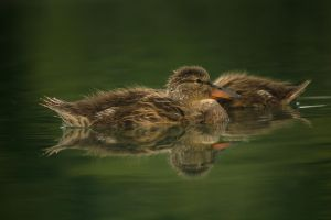 Young Mallards September - 2014 - 6 - 1 by toshema