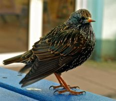 Little Starling by gee231205