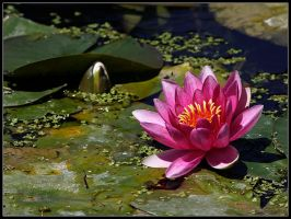 Water Lily by cycoze