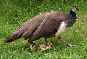 Indian Peahen and Chicks 2 - Toronto Zoo by mariannemason