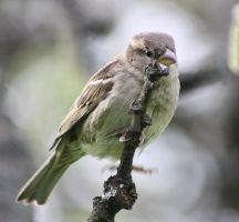 Sparrow 2 by Isabella3991