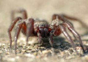 Gnaphosa lucifuga - male by TheFunnySpider