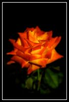 Night Rose by TomasGarcia
