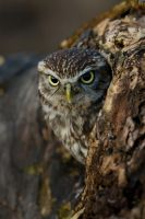 Watchful little owl by AngiWallace