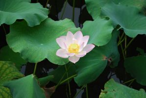 lotus 3.6 by meihua-stock