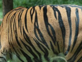 Tiger stripes by photographyflower