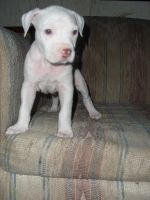 Pitbull Pup Stock-00 by fallbreak-stock