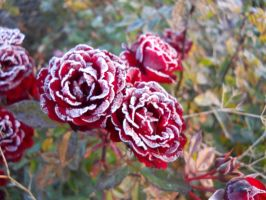 Frosted Roses by ElfGift