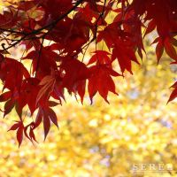 Red Maple Leaves by serel