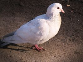 White pigeon by BioGear