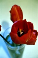 Tulips 3 2004 by Kitsch1984