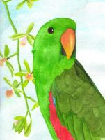 Eclectus Parrot by greencheek