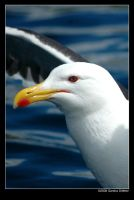 Norwegian gull 16 by grugster