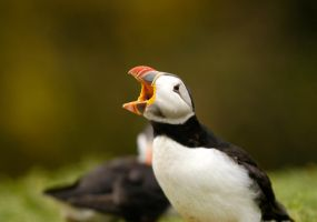 Puffin3 by shaunthorpe