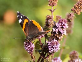 red admiral by MadeOfSteel