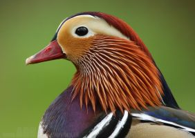 Mandarin Duck by Albi748