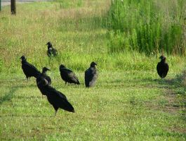 Group of Black Vultures in my yard 1 by TheGreatWiseAss