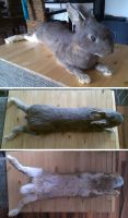 Big opal softmount bunny by DeerfishTaxidermy