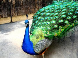 melbZOO _ Peacock by paolo91