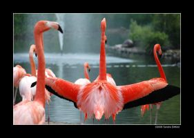 Proud flamingo by grugster