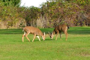 Rutting young bucks by ShannonCPhotography