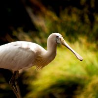 Royal Spoonbill by SaphoPhotographics