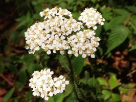 Yarrow by RosethePoet
