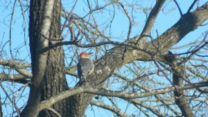 red-bellied woodpecker by gothchica