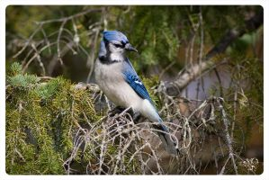 Friendly Blue Jay by AmirNasher