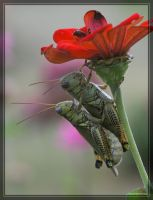 Grasshoppers 20D0036946 by Cristian-M