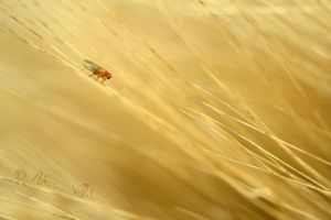 Barley fly by Fresnay