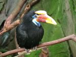 Knobbed Hornbill by Shippochan1000