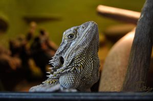 bearded dragon by Trutze