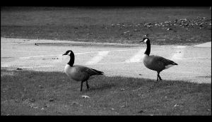Caution Geese Crossing. by Bleezer