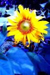 Sun Flower on Ice by OtherWorldyImages