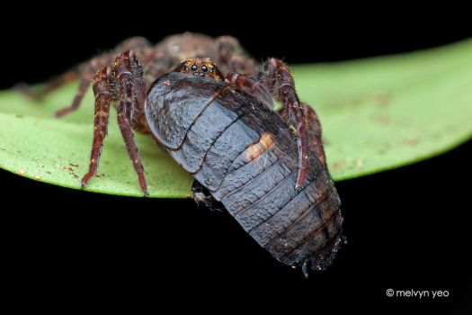 Wandering Spider with Cockroach prey by melvynyeo