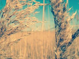 wheat by purdyphotos