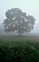Photoshop Edit - Foggy Tree by TimberClipse