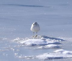 seagull on Ice by wagn18