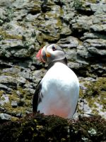 Skellig Puffin 2 by Shaystyler