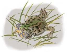 Firebellied toad, Bombina b. by kvh