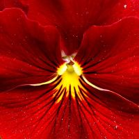 red flower pansy by Dieffi