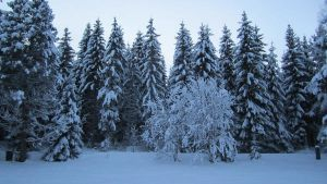 Winter trees by Meyby