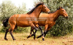 Young Lusitano Playing by madboy