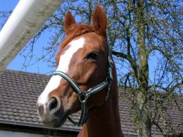 Horse Stock: Thoroughbred Head by thevirtualgaucho