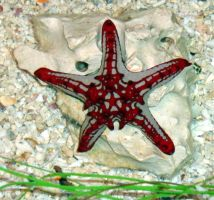 perfect sea star by wiccanwitchiepoo