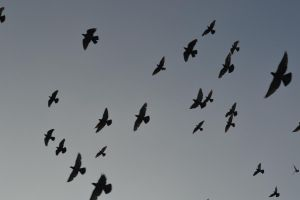 number of birds to fall by WilhelminaGrim
