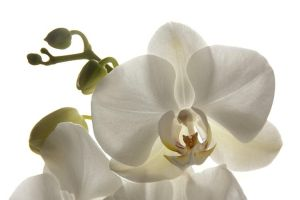 Orchidee by MacsBlack