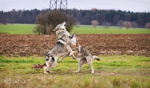 Kung-Fu Wolfdogs IV. by Czertice