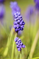 Muscari botryoides by st3rn1